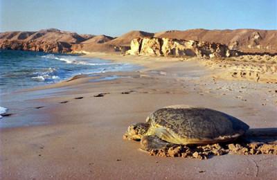 Turtle Jinz